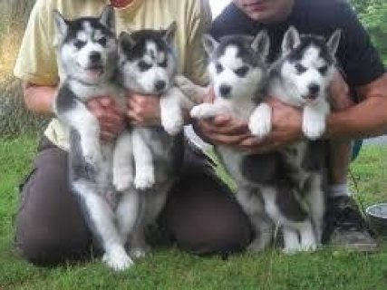 صور Home Trained Siberian Husky Puppies Available 1
