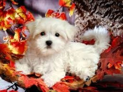 Sweetest Maltese Puppies Available