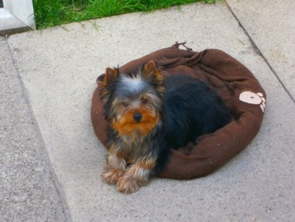 Purebred  Yorkie Puppies for adoption