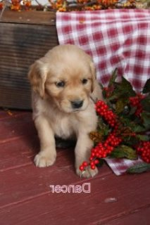 صور Golden Retriever 1