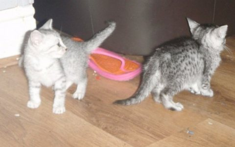 صور Egyptian Mau Kittens for Adoption 1