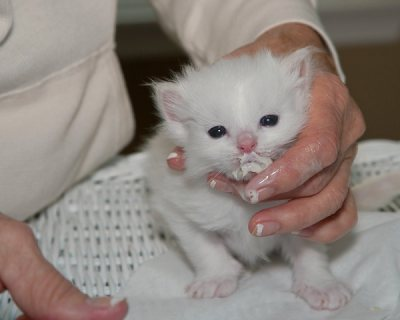 MILK PURRE WHITE RAGDOLL KITTEN FOR ADOPTION