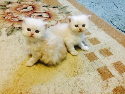 صور Beautiful Pedigree White Persian kitten 1