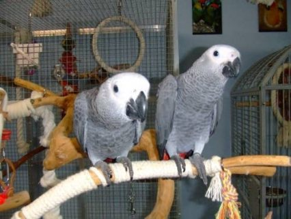 Pair of Talking African Grey Parrots