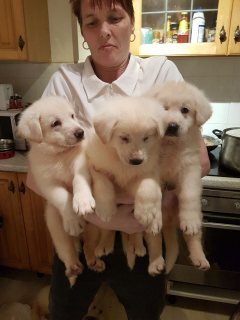 White German Shepherd And Sable Gsd Puppies For S