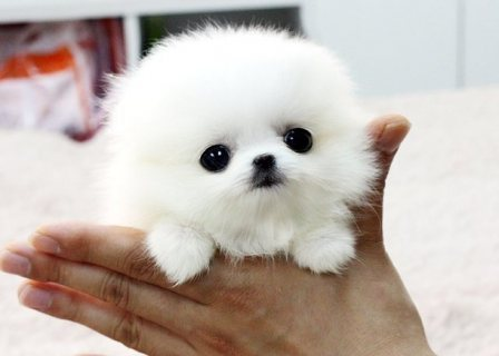 supper beautiful looking puppy for sale get it now...