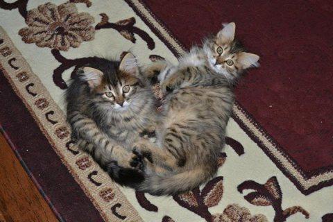 وكان القطط الجميلة سيبيريا القطط