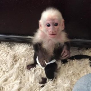 صور Sweet Capuchin Monkeys For sale 1