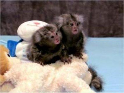 Cute Babies Marmoset  Monkeys For sale