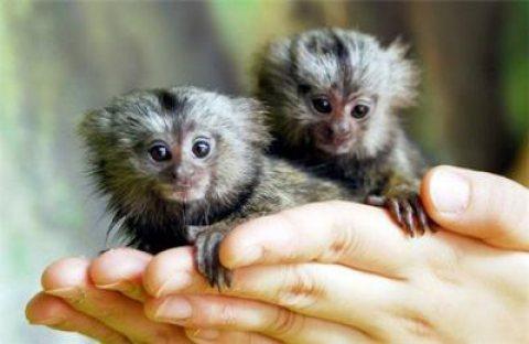 Babies Marmoset  Monkeys For sale