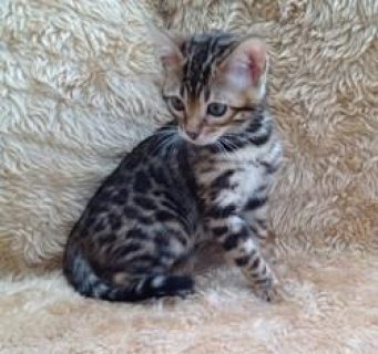 Cute Bengal Kittens for Sale