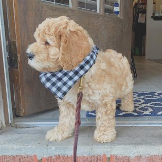 Goldendoodle puppies available for sale