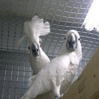 Cockatoo birds available for sale