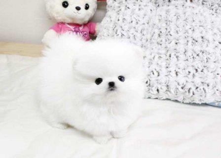 الجراء كلب صغير طويل الشعر