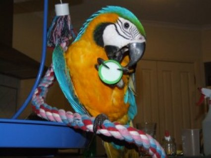 Blue and Gold Macaws for Rehomin