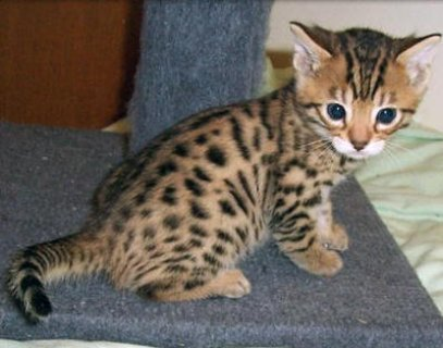 AExotic bengal kitten