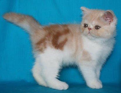 aAmerican Shorthair Kittens