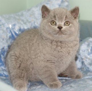 vLIGHTUP SHORTHAIR KITTENS LOOKING FOR REHOMING