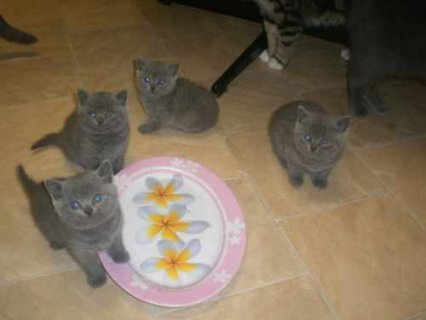 Blue British Shorthair kittens7