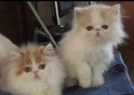 CFA PERSIAN AND HIMALAYANr