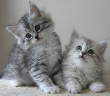 ssiberian kittens for re-homing to any lovely homesss