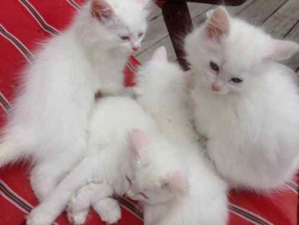 صور Cute and adorable male an female persian kittens ready to join n 1