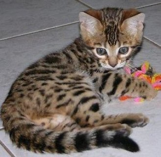 صور Bengal Kitten Available for Sale 1