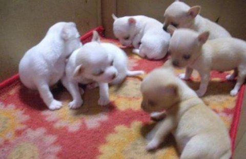 صور White Tea cup chihuahua puppies Male and Female for sale 1