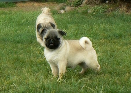 صور pugs  puppies for adoption 1