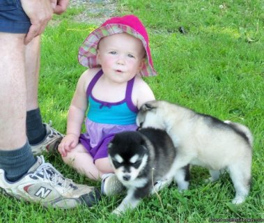 صور alaskan malamute puppies for sale 1
