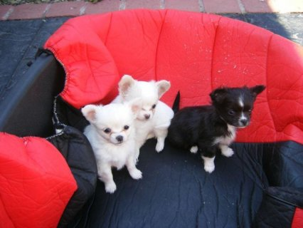 صور CHIHUAHUA, Tiny female and Male Apple Head 1