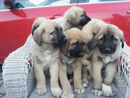 كلاب كانجل التركي
