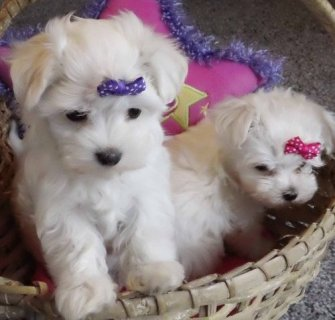 صور Gorgeous Tiny Maltese Puppies  1