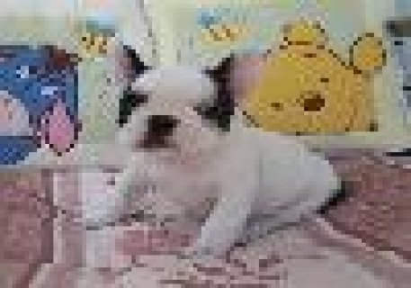 صور Cute and Adorable French Bulldog Puppies for Sale 1