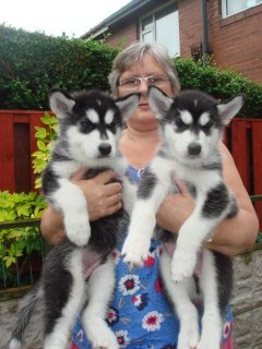 husky puppies for adoption
