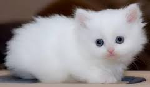 صور Gorgeous Himalayan Persian Kittens 1