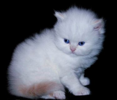 صور well trained male and female Teacup Persian kittens 1