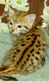 Savannah Kittens For Sale Now