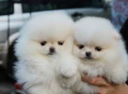 Gorgeous Male and Female Teacup Pomeranian Puppies for sale