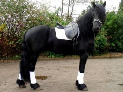 nice and lovely friesian horse available for adoption
