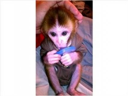 Intelligent Baby Rhesus monkeys for you