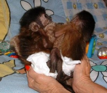 صور Capuchin Monkeys Need New Homes 1