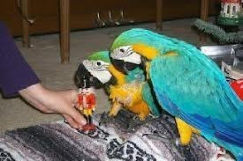 صور Beautiful Blue and Gold Macaws, 1