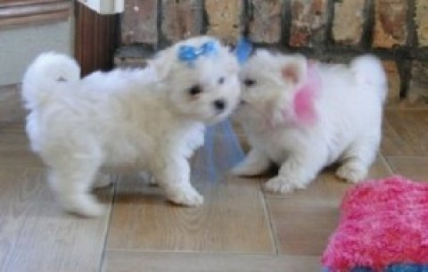 Male and Female Maltese Puppies for Adoption