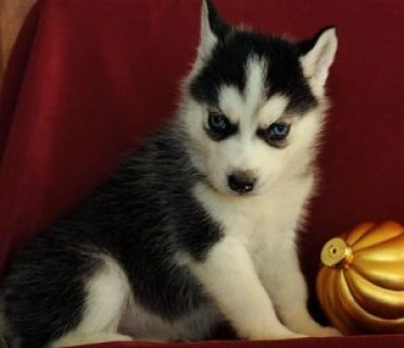 12weeks Old Blue Eyes Siberian Husky Puppies