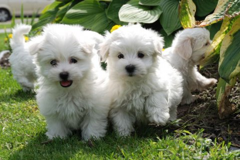 Cute Maltese Puppies Available for adoption