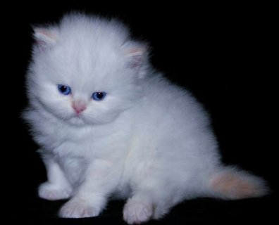 صور  male and female Teacup Persian kittens Available 1
