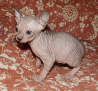 صور male and female Sphynx Kittens For Sale 1