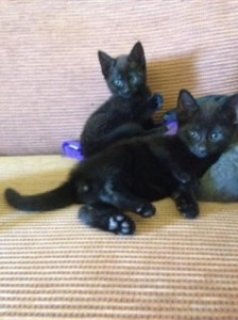 male and female Russian Black Kittens Rare
