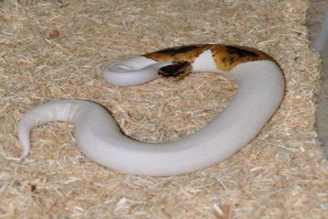 Free albino and piebald python for adoption
